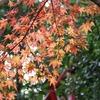 モミジの網伏せ挿し木の結果「自然な曲を付けることに成功!」