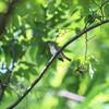 鳥影少なし(大阪城野鳥探鳥 2017/05/20 4:40-10:50)