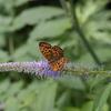 7/15,16/2018・朝から夕方まで乗鞍高原ではたくさんの蝶たちに出会えました