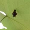 ブドウの葉裏にいる未確認蓑虫物体のこことよそとミノの中身について