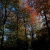 モミジバフウの紅葉
