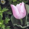 桜色のチューリップって