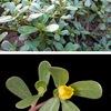 スベリヒユ /ナデシコ目の植物たち2-1. たまたまツルムラサキを取り上げたのを機会に,ナデシコ目の植物種をいくつか取り上げ,順次,まとめていくことにしました.ツルムラサキに続き,第二回で取り上げるのは  スベリヒユ.名の通った雑草にして,世界的なレベルでは,かなり食べられている野菜.同じ種がよく知られた園芸植物ポーチュラカ(と言われてきました.しかし----)