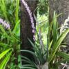 日陰で育つ『ヤブラン』の成長と開花~斑有無の品種と,『ヤブラン』によく似た白花『ノシラン』も紹介!