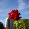 【一日一枚写真】赤薔薇 Part.2【一眼レフ】