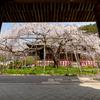 京都・山科 - 毘沙門堂の枝垂れ桜