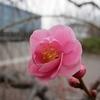 梅の候【開花宣言】