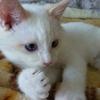 しろっぽい猫