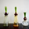 ヒヤシンス水栽培の花が終わったら。