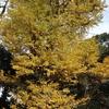 中岡慎太郎も見上げた銀杏の木。