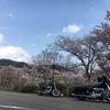 桜リベンジ!!