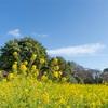 菜の花と江戸の名残を楽しむ春のはじまり