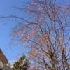 富士見小のしだれ桜!(3月23日)