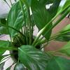 スパティフィラムの花芽