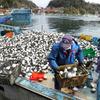 【天罰論】島根県出雲市(松江市)で2月中よりハリセンボンばかりが網にかかる異常事態