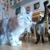 トラの肉球をGETした勢いで、チェンマイの猫カフェが更にモフモフだった件