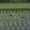畦道に佇むムナグロ