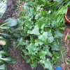 【家庭菜園】ほうれん草を収穫しました