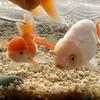 白くて大きい金魚 〈らんちゅう