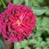おだやかな陽射しの午後・・・午後のバラ