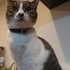 猫に初めて首輪をつけてみた【災害・脱走対策】