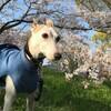 例年より静かな桜散歩