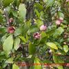 ポートワインの木・義兄の形見の木が甘い香りで咲いています