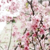 台湾で比較的日本っぽい桜を見つけました