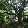 過去から未来へ。それでも変わらずそばにいた楠の木の大木。