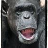 【チンパンジー】①