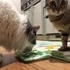 【猫ブログ】夜ご飯ハンター