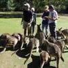 タスマニア 一味違うオーストラリア やっぱり本場のタスマニアデビル