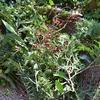 ハーブの常緑樹を使ってSwag(スワッグ)作り