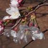 ソメイヨシノ sakura  cherry blossom
