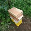 今日来たミツバチ