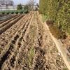 秋冬野菜 種まきから50日後。