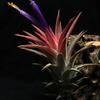 【Tillandsia ionantha 'Van-Hyningii'】開花
