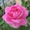 バラの商品表示名「ディスタントドラムス」が咲いたよ!