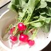 「らーでっしゅ!」菜園の収穫。