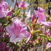 日光市内でもツツジが開花