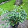 ☆新商品入荷☆盆栽のすすめ!光沢ある緻密な葉が魅力の「イソザンショウ」など