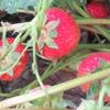 イチゴの収穫2