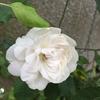3月にイノシシに掘り返されたマダムアルフレッドキャリエール開花!