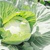 【野菜の豆知識】キャベツが胃炎や潰瘍に効果があるって知ってた??
