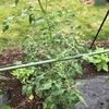 トマトは完全に熟したものを収穫し、その場で食らいつきたい