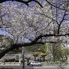 季節の節目の「しるし」は生田川の桜。