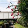 鉄橋と百日紅