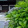 東福寺の本堂の東に咲く紫陽花。