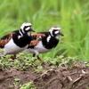 畦道の上の2羽のキョウジョシギ