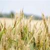 小麦を食べない14日間で劇的に変わることがある/「ジョコビッチの生まれ変わる食事」